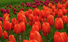 Picture field, flowers, nature, tulips, red, pink
