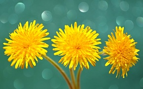 Picture macro, dandelion, Shine, petals, stem, Blik