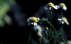 Picture macro, chamomile, focus
