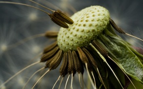 Picture Dandelion, seeds
