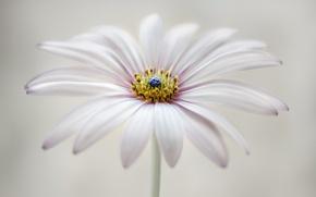 Picture flower, petals, osteospermum