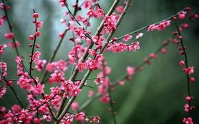 Picture Nature, Sakura, Flowers