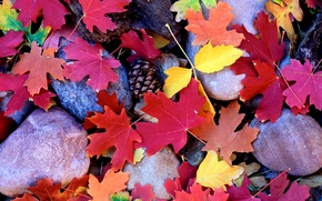 Wallpaper maple, bumps, Stones, autumn, leaves