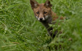 Picture greens, summer, grass, look, Fox, red, Fox