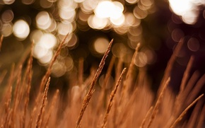Picture field, macro, spikelets