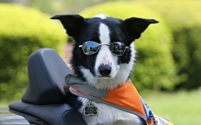 Picture The border collie, glasses, dog