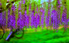 Picture trees, flowers, branches, flowering, bunches, Wisteria