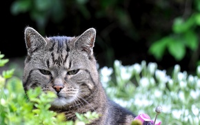 Picture cat, look, nature, Kote