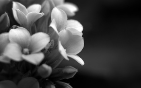 Picture macro, flowers, photo, background, Wallpaper, plant, petals, black and white