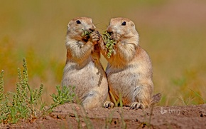 Picture nature, USA, rodents, South Dakota, Wind Cave National Park, black-tailed Prairie dog