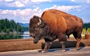 Picture bridge, nature, river, bison