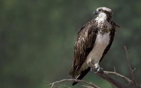 Picture nature, bird, Falcon, Osprey, osprey