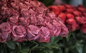 Wallpaper flowers, petals, roses