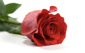 Picture leaves, flowers, rose, petals, white background, red