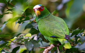 Picture branches, bird, parrot, White-fronted Amazon
