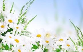 Picture white, yellow, chamomile, a lot, bokeh, closeup