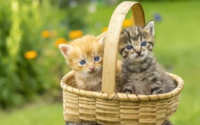 Picture basket, kittens, lawn
