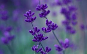 Picture macro, flowers, blur, purple, lilac, Lavender