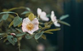 Picture greens, flower, macro, flowers, Bush, strawberry, flowering, the garden