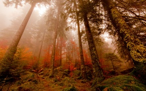 Picture autumn, forest, fog, pine