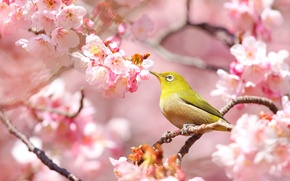 Wallpaper bird, spring, Sakura, white-eyed