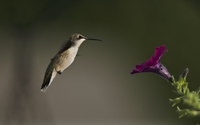 Picture flower, bird, blur, Hummingbird, Petunia