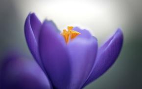 Picture flower, macro, lilac, petals, Krokus