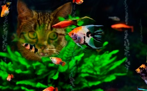 Picture cat, fish, food, aquarium
