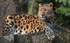 Picture mustache, look, face, paw, predator, leopard, lies, leopard, spotted, on the stone