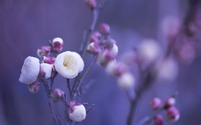 Picture macro, flowers, background, lilac, petals, blur, pink, White, buds, twigs