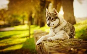 Picture autumn, dog, husky