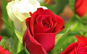 Picture roses, red, buds