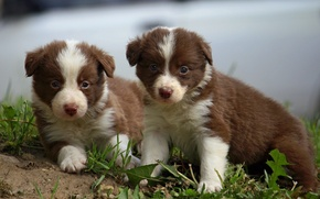 Picture puppy, kids, the border collie