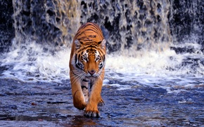 Picture water, waterfall, predator, Bengal tiger