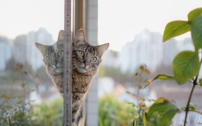 Picture cat, eyes, look, glass, reflection