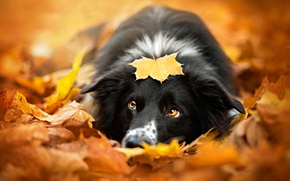 Picture autumn, sheet, dog