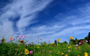 Picture the sky, sunflowers, flowers, Japan, pagoda, Japan, kosmeya, Bitchu Kokubunji Temple, Okayama, Okayama