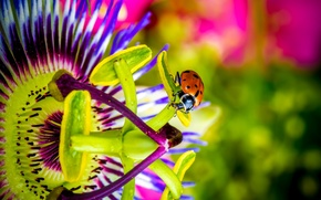 Picture flower, ladybug, passionflower
