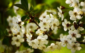 Picture flowers, branches, nature, spring, Apple, flowering, flowers