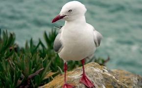 Picture grass, birds, nature, bird, vegetation, stone, Seagull