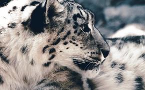 Picture face, predator, IRBIS, snow leopard