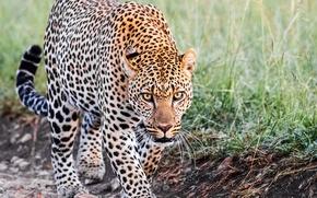 Wallpaper leopard, look, gait