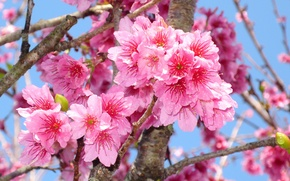 Picture macro, branches, cherry, beauty, spring, colorful, Sakura, Sakura, flowering, blossom, Spring, cherry, Flowering trees