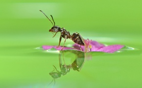 Wallpaper flower, water, macro, reflection, ant