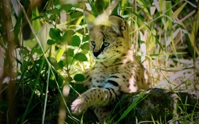 Picture predator, Serval, Bush cat, leptailurus serval
