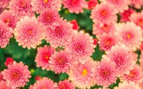 Picture autumn, flowers, nature, chrysanthemum, flora