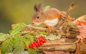 Picture autumn, leaves, berries, animal, branch, protein, trunk, rodent, Kalina