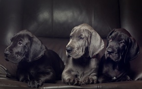 Picture dogs, puppies, trio, Trinity, Great Dane