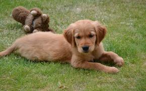 Picture grass, toy, dog, puppy, lies, lawn