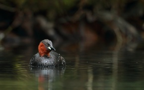 Picture water, bird, duck, pond, small, toadstool